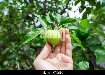 Farmer man holding an apple. Gardener hand picking green apple. - Stock Photo