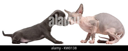 Chihuahua puppy, 10 weeks old, interacting with a Sphyx kitten, 8 weeks old, in front of white background