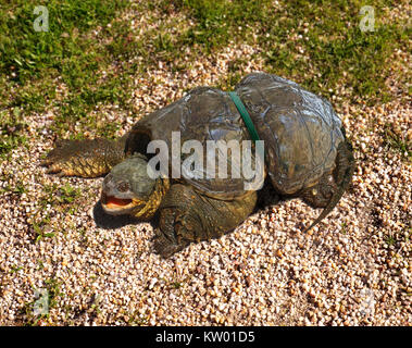 Common snapping turtle, Chelydra serpentina, entangled with a plastic ring, probably from the lid of a package. - Stock Photo