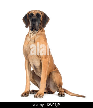 Great Dane, 4 years old, sitting in front of white background - Stock Photo
