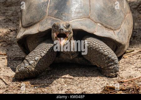 Aldabra giant tortoise (Aldabrachelys gigantea), Testudinidae. L'Union Estate Farm - Stock Photo