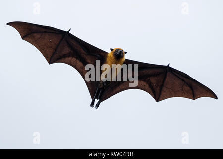 Seychelles fruit bat, Seychelles flying fox (Pteropus seychellensis), Pteropodidae - Stock Photo