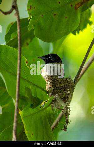 Seychelles Paradise Flycatcher (Terpsiphone corvina), female on nest, , - Stock Photo
