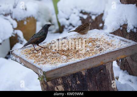 Starling Sturnus vulgaris and House Sparrow  Passer domesticus on snow covered bird table. British Isles - Stock Photo