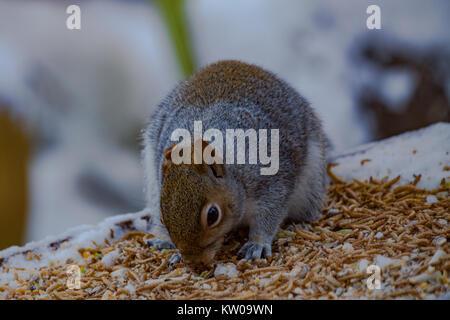 Grey Squirrel  Sciurus carolinensis. Single adult on snow covered bird table. UK