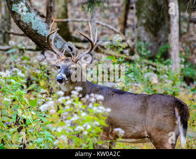 A whitetail deer buck standing in the woods - Stock Photo