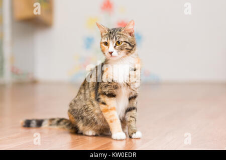 Pregnant cat tortoiseshell without breed sits on the floor - Stock Photo