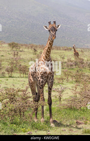 Wild giraffe in Amboseli national park, Kenya. - Stock Photo