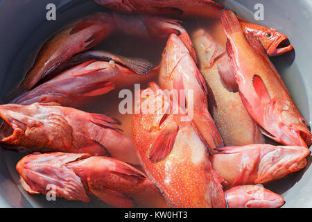 Freshly caught red snapper fish in a basin, Cape Verde, Africa - Stock Photo