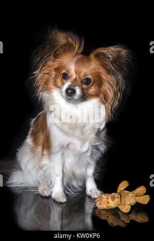 Papillon dog (Canis lupus familiaris)/ Continental Toy Spaniel, Butterfly Dog - Stock Photo