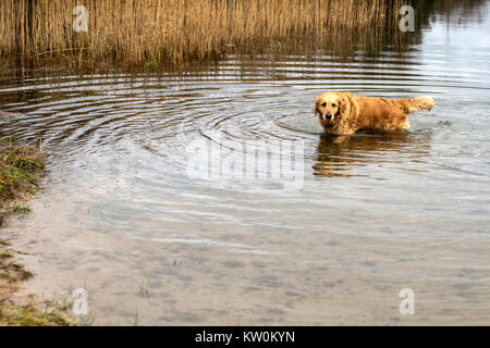 golden retriever dog playing in the water - Stock Photo