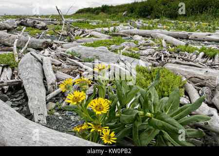 Beach Sunflowers scattered among driftwood at the McNeil River State Game Sanctuary on the Cook Inlet, Alaska. The - Stock Photo