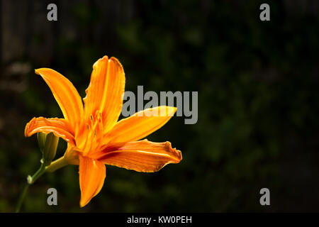 Fresh Orange Lily Growing In Garden. Dark Background - Stock Photo