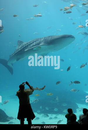 An adult photographs a whale shark and fish as they swim around a giant fish tank at the Georgia Aquarium in Atlanta. - Stock Photo