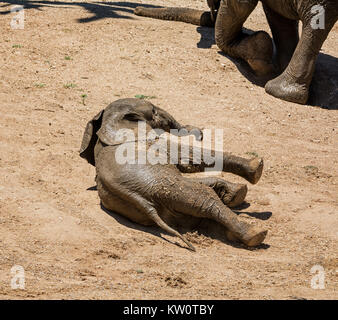 An Elephant calf rolls in the dust after a mud bath - Stock Photo