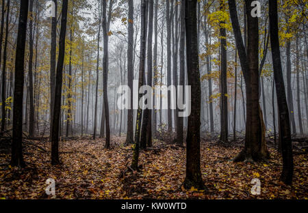 Michigan Panoramic Autumn Forest Landscape. Dark foggy forest with vibrant and natural autumn forest panorama in - Stock Photo