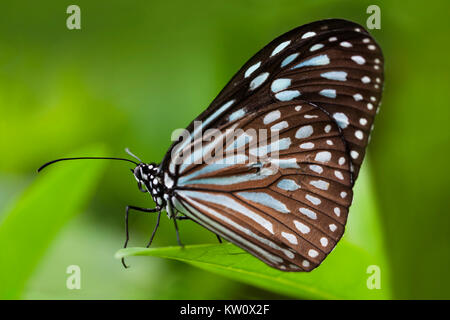 Close up of a Blue Tiger Butterfly, Tirumala limniace, on a leaf in Ishigaki, Japan. - Stock Photo