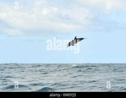 A common bottlenose dolphin (Tursiops truncatus) leaps into the air, showering water. Puerto Baquerizo Moreno, San - Stock Photo