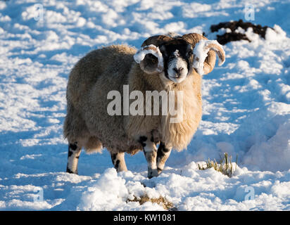 Blackface sheep foraging for food in the snow near Woolfords West Lothian, Scotland. - Stock Photo