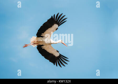 Adult European White Stork Flies In Blue Sky With Its Wings Spread Out. - Stock Photo