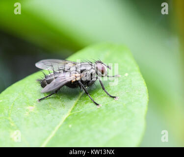 Tachinid parasitic fly perched on a leaf - Stock Photo