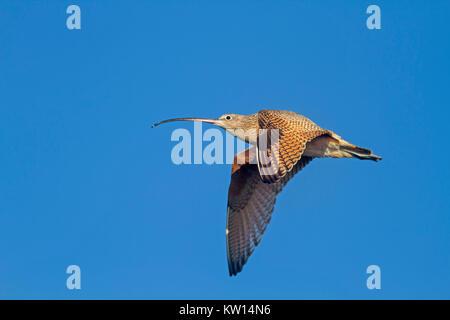USA, California, Long-billed Curlew in Flight  (Numenius americanus) - Stock Photo