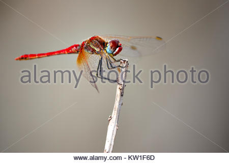 Red Dragonfly on a twig - Stock Photo