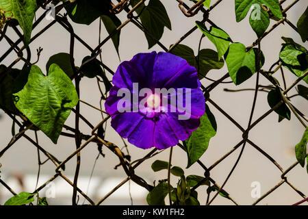 Blue flower morning glory of the Ipomea genus of the family Convolvulaceae (Ipomea Purpurea) - Stock Photo