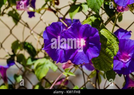 Blue flowers morning glory of the Ipomea genus of the family Convolvulaceae (Ipomea Purpurea) - Stock Photo