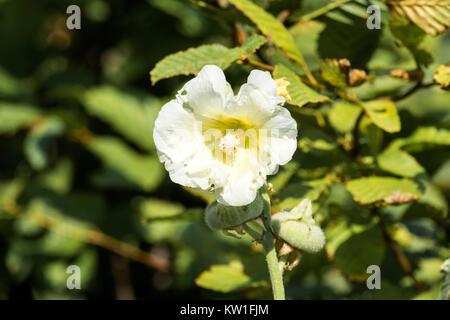 Flower of White hollyhock (Alcea rosea) - Stock Photo