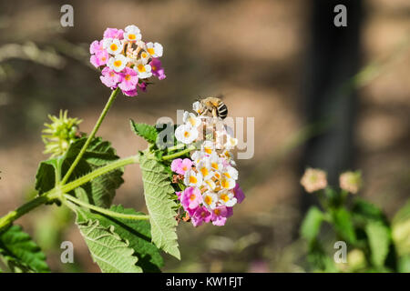 Flower tickberry and a lonely bee arrived for a portion of pollen (Lantana camara) - Stock Photo