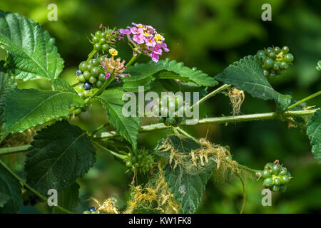 Flowers, leaves and berries of poisonous bush Lantana camara, also known as big-sage, is a species of flowering - Stock Photo