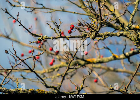 Hawthorn berries lit by the rays of autumn sun (Crataegus) - Stock Photo