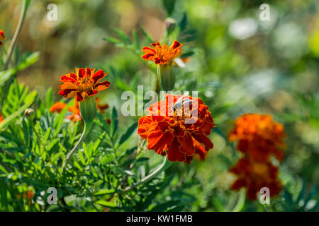 Orange flowers of a marigold and a bee collecting pollen (Tagetes patula)
