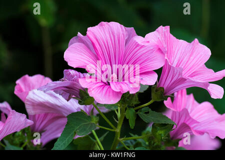 Purple funnel-shaped flowers of Lavatera - flowering plants in the family Malvaceae (Lavatera trimestris) - Stock Photo