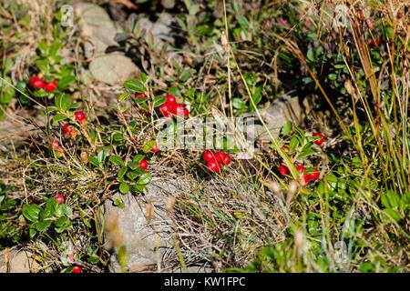Ripened berries of the Carpathian lingonberry (Vaccinium vitis-idaea) - Stock Photo