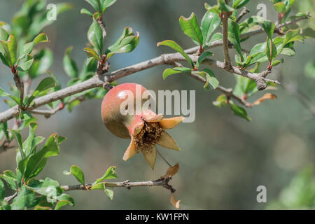 The fruit of a young pomegranate grows on a bush - Stock Photo