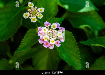 White and purple flowers tickberry (Lantana camara) - Stock Photo