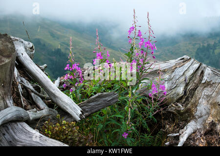 Purple flowers of fireweed near the old big root against the background of misty mountains (Chamaenerion angustifolium) - Stock Photo