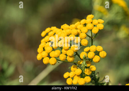 Medicinal herbs yellow inflorescences of tansy flowers tanacetum yellow inflorescences of tansy flowers tanacetum vulgare stock photo medicinal herbs mightylinksfo