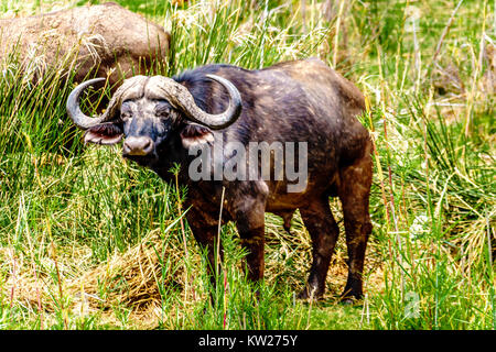 Water Buffaloes grazing on the riverbank of the Olifants River in Kruger National park near the town of Phalaborwa - Stock Photo