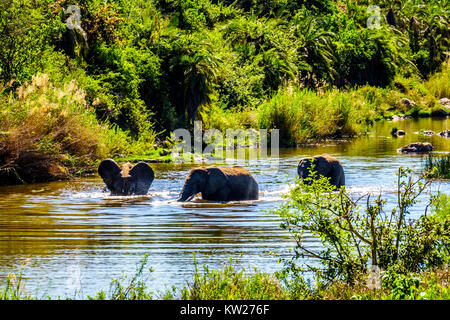 Elephants playing in the Ga-Selati River, a tributary of the Olifants River, near the town of Phalaborwa in Kruger - Stock Photo