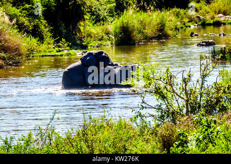 Elephants mating in the Ga-Selati River, a tributary of the Olifants River, near the town of Phalaborwa in Kruger - Stock Photo