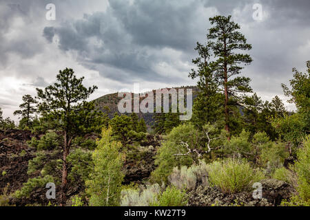 Life flourishes amidst the harsh environment of this lava field in Sunset Crater Volcano National Monument near - Stock Photo