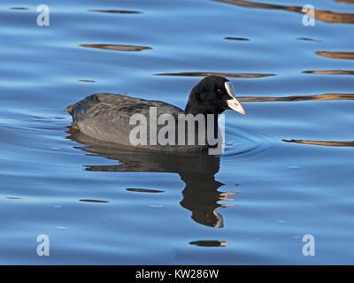 Eurasian coot swimming - Stock Photo