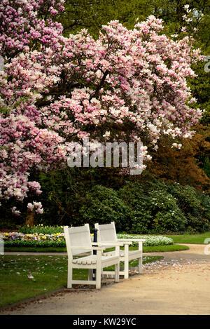 Magnolia, Magnoliaceae, magnolia in the big garden Dresden, Magnolie, Magnolie im Großen Garten Dresden - Stock Photo