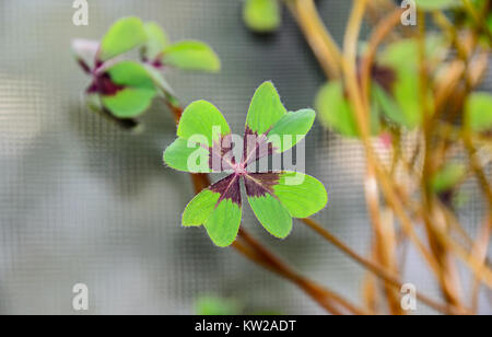 Four leaves clover, green leafs trefoil, lucky symbol close up. - Stock Photo