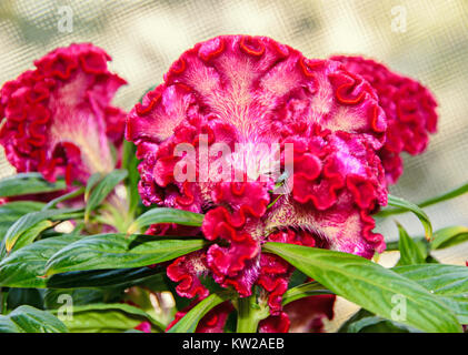 Dark red Celosia cristata flowers genus Celosia,  cockscomb (Creasta Cocosului). - Stock Photo