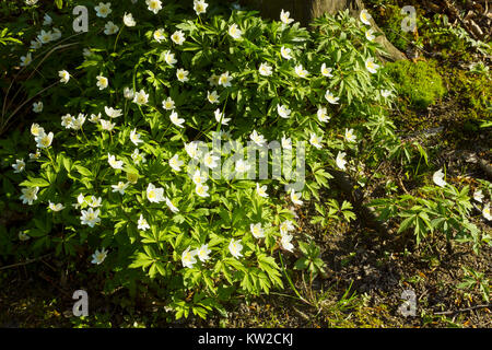 White spring forest flowers Anemone nemorosa or wood anemone, windflower, thimbleweed, smell fox flowers - Stock Photo