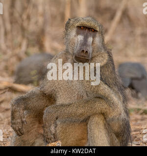 An adult Chacma Baboon sitting in the Namibian savanna - Stock Photo